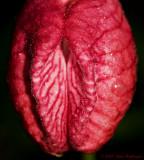 Orchid Vulva