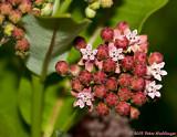 Milkweed Flowers Opening