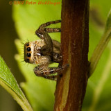 Jumping Spider Eating a Fly