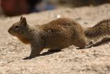 California Ground Squirrel at Taft Point
