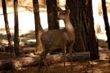 Deer outside our cabin in Wawona