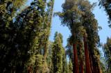 grove of Giant Sequioas