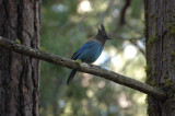 Steller's Jay at our cabin in Wawona