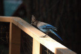 Steller's Jay on our deck