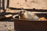 Yellow-bellied Marmot in a fire ring