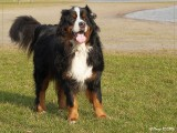 Borre - Berner Sennen Dog