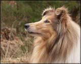 Clark - Scottisch shepherd - sable