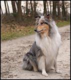 Mabel - Scottisch shepherd - bluemerle