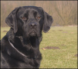 Rakker - Labrador retriever