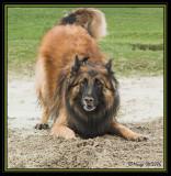 Yenko - German x Belgium shepherd