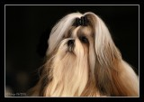Lhasa Apso on a show in Belgium