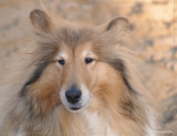 Whisper - Scottish shepherd - sable