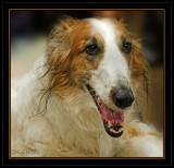 Barzoi on a show in Belgium