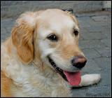 Layka - Golden retriever