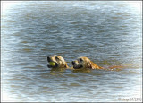 Retrievers swimming together