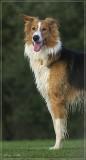 Milo - Podenco/Scottisch shepherd