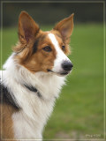 Milo -Podenco/Scottisch shepherd
