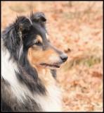 Shelley - Scottisch shepherd - tricolor