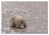 Golden retriever - no icebear :-)