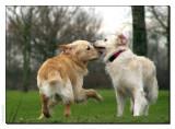 Labrador- and golden retriever