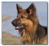 Benji - German Shepherd