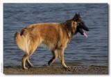 Yenko - Tervuerense herder - Belgium Shepard