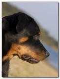 Gita - Rottweiler