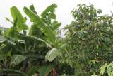 Cafe y Banano, Productos Locales
