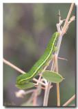 Sulphur Butterfly Caterpillar - Green Form