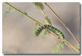 Southern Dogface Butterfly Caterpillar