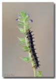 Common Buckeye Caterpillar