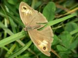 Myrtil femelle