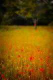 Poppy Field and Tree.