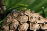 Pine Cone Scales