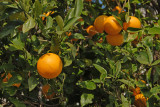 Oranges on the bough
