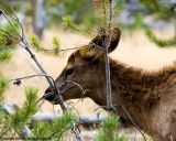 Yearling Elk Foraging