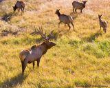 Bull Elk Protecting His Harem