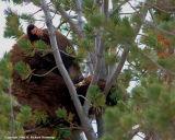 Cinnamon Bear Lunching in Tree