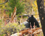 Black Bear Near Tower, Sept. 2007