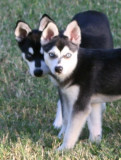 Click on picture to see more of Bebop & Mandy, Miniature Alaskan Klee Kai