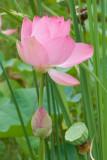 1411 Lotus