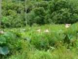 P471 Lotus Pond