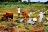 Cowherding