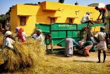 Treshing the rice