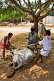 Turning the bull