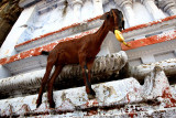 The Temple Goat