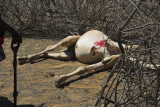turkana reprised: camel slaughter