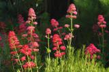 Cambria Garden Flowers
