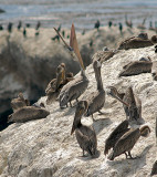 Resting Brown Pelicans