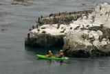 Kayakers Enjoying Brown Pelicans
